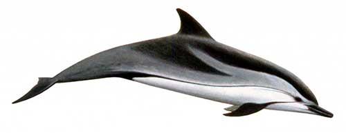 ilustracion identificativa especie delfin listado, stenella coeruleoalba