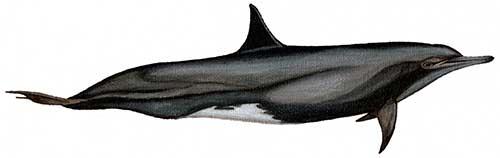 Ilustracion identificativa especie delfin acrobata de hocico largo, stenella longirostris