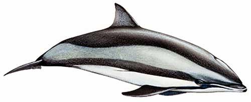 ilustracion identificativa especie delfin de fraser, lagenodelphis hosei