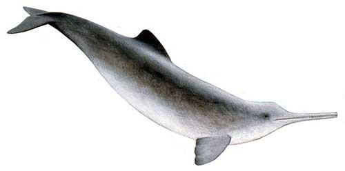 ilustracion identificativa especie delfin del plata, pontoporia blainvillei