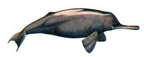 ilustracion identificativa especie delfin del ganges, platanista gangetica