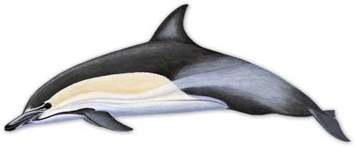 ilustracion identificativa especie delfin comun oceanico, delphinus delphis