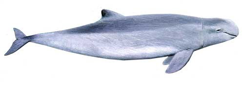 ilustracion identificativa de la especie delfin beluga del rio irrawaddy, orcaella brevirostris