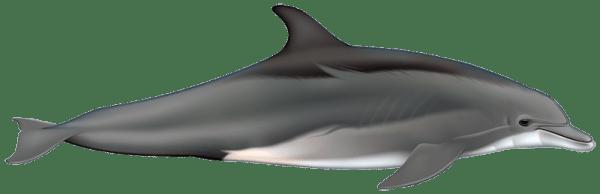 Ilustración identificativa especie Delfín mular, Tursiops truncatus