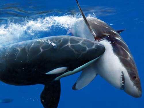 personalidad orcas 04