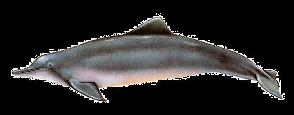 Ilustración identificativa especie Delfín costero, Sotalia guianensis