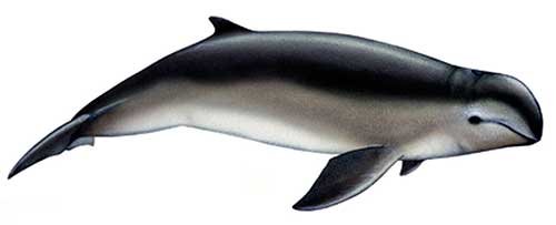 ilustracion identificativa especie delfin beluga de heinsohn, orcaella heinsohni