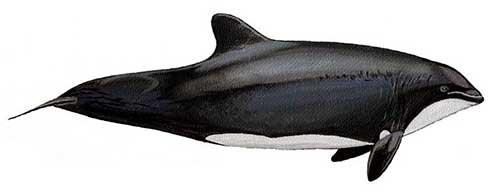 ilustracion identificativa especie delfin chileno, cephalorhynchus eutropia