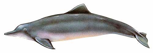ilustracion identificativa especie delfin costero, sotalia guianensis