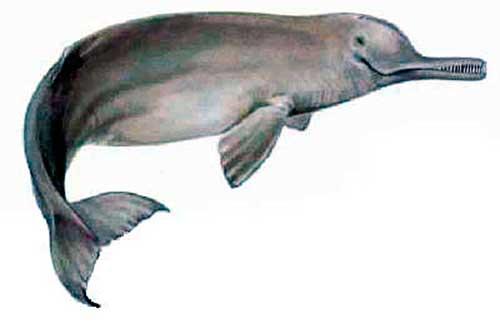ilustracion identificativa especie delfin del indo, platanista menor