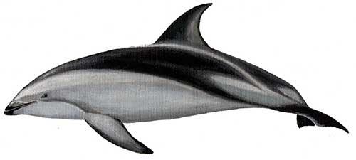 ilustracion identificativa especie delfin oscuro, lagenorhynchus obscurus
