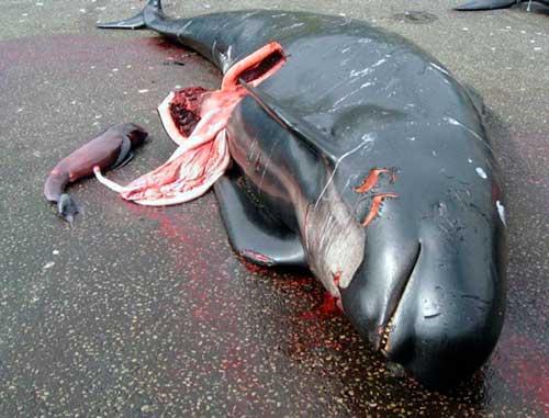 ballena piloto embarazada asesinada 01