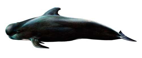 Ilustración identificativa especie Calderón de aleta corta, Globicephala macrorhynchus