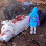 Se cazan casi 100 mil delfines cada año 01