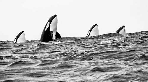 personalidad orcas 02